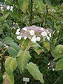 Hydrangea aspera sargentiana LeavesInflorescences BotGardBln0806b.JPG