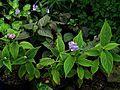 Hydrangea involucrata - Flickr - peganum.jpg