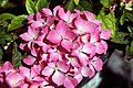 Hydrangea macrophylla Pink Elf 0zz.jpg