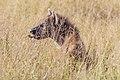 Hyena 4086 (32103692828).jpg