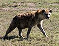 Hyena walking.JPG