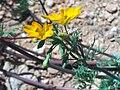 Hypecoum procumbens LeavesFlowerCloseup 25April2009 CampodeCalatrava.jpg