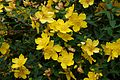Hypericum Hidcote A.jpg