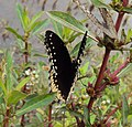 Hypolimnas bolina - Great Eggfly at Thillankeri 23.JPG