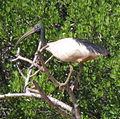 Ibis sacré de Madagascar.JPG