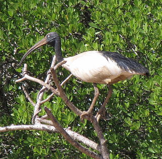 Malagasy sacred ibis species of bird