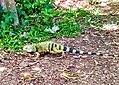 Iguana .jpg