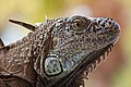 Iguana portrait acapulco 201905 1.jpg