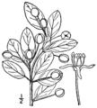 Ilex mucronata BB-1913-1.png