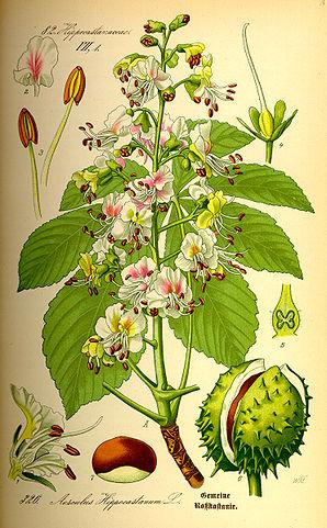 Gewöhnliche Rosskastanie (Aesculus hippocastanum)Illustration