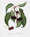 Illustration from Pomona Italiana Giorgio Gallesio by rawpixel00019.jpg