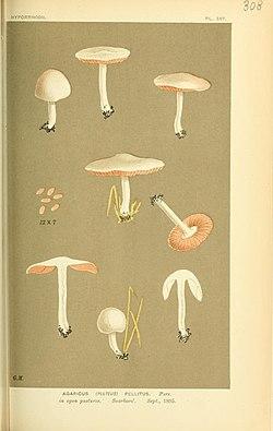"Illustrations of British Fungi (Hymenomycetes), to serve as an atlas to the ""Handbook of British Fungi"" (Pl. 308) (8722233495).jpg"