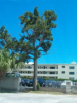 Image-Juniperus bermudiana - mature.jpg