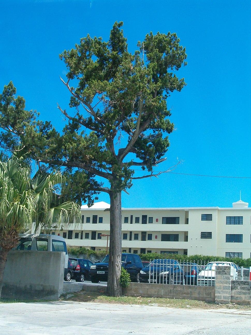 Image-Juniperus bermudiana - mature