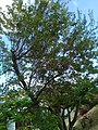 Image of the T. heterophylla tree. The tree is located on St. Thomas, USVI.jpg