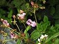 Impatiens glandulifera Family Balsaminaceae.jpg
