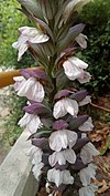 Inflorescences of acanthus mollis - Ταξιανθίες φυτού άκανθου.jpg