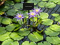 Interiors of Kew Gardens Water Lily House - Nymphaea 'Midnight' P1170623.JPG