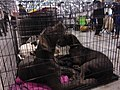 International Dog Show 2018 21.jpg