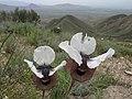 Iris elegantissima y.jpg