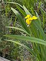 Iris pseudacorus(01).jpg