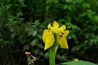 Iris pseudacorus b4.JPG