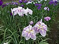 Irises in Lake Kagurame 04.jpg