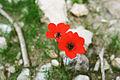Israel anemones, dvir forest - כלניות, יער דביר (6883600398).jpg