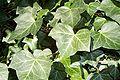 Ivy 44uf.jpg
