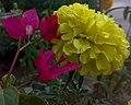 JNU Yellow Marigold Flower.jpg