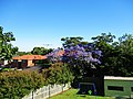 Jacaranda in New South Wales.jpg