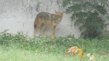 Jackal at Chhatbir Zoo.jpg
