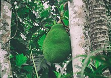 Jackfruit - Kerala's official fruit