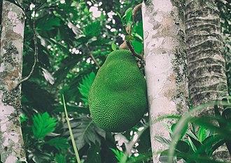 Jackfruit - Jackfruit on the tree showing the tree bark.
