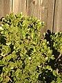 Jade Plant Shrub.jpg