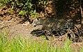 Jaguar (Panthera onca) female walking on the riverbank ... (48676196227).jpg