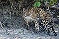 Jaguar in Pantanal Brazil 1.jpg