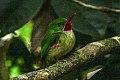 Jamaican Tody (Todus todus) (8082117352).jpg