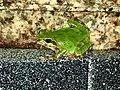 Japanese tree frog.jpg