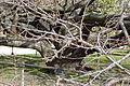 Jardin-Plantes-Prunus-shirotae 01.JPG