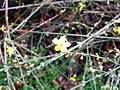 Jasminum nudiflorum 3.JPG
