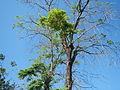 Jf9156Pterocarpus indicus Floridablanca Pampangafvf 07.JPG
