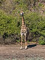 Jirafa (Giraffa camelopardalis), parque nacional de Chobe, Botsuana, 2018-07-28, DD 106.jpg