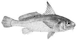 Johnius amblycephalus.jpg