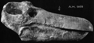 Jonkeria - Jonkeria ingens skull, Amer. Mus. No. 5608
