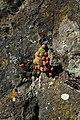 Jovibarba globifera in natural monument Calvary in Motol in spring 2012 (2).JPG
