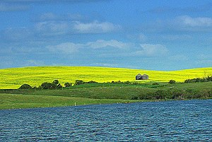 Canola Field in Saskatchewan