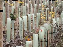 Junior forest in plastic tubes - geograph.org.uk - 617826.jpg