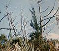 Juniperus bermudiana 8.jpg