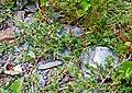 Juniperus horizontalis (14998895655).jpg
